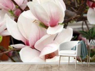 pink magnolia in blossom