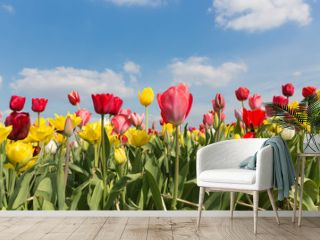 Beautiful colorful tulips against a blue sky with clouds