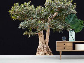 Bonsai of Olive Tree