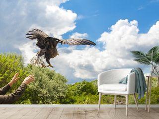 Releasing a white-tailed eagle (Haliaeetus albicilla)