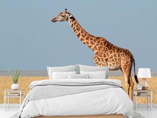 Masai giraffe, Masai Mara