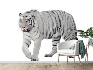 large albino tiger isolated on white