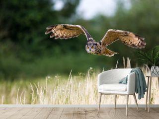 Eagle owl flight