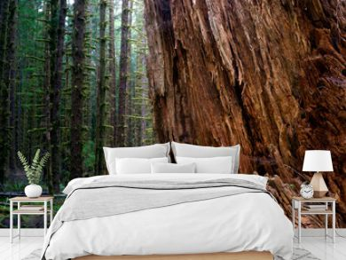 Massive Old Growth Red Cedar Tree Split Apart Wooded Rainforest