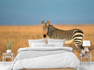 Cape Mountain Zebra in grassland
