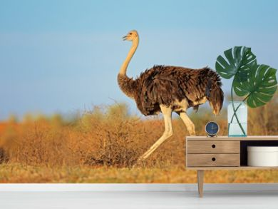 Female ostrich, Kalahari desert