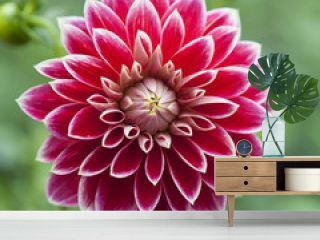 single flower of red dahlia