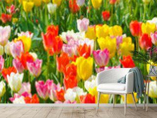 multicolored tulips field in park