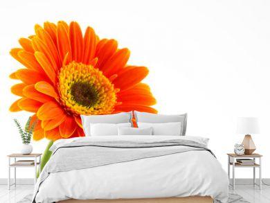 Orange flower of gerber isolated on white background