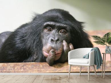 chimpanzee chimp monkey ape (Pan troglodytes or common chimpanzee) chimp looking sad and thoughtful stock photo, stock photograph, image, picture
