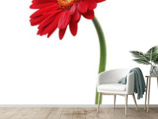 Red gerbera daisy isolated on white background