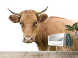 Portrait of a cow on white.