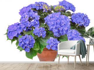 Blue Hortensie, hydrangea, isolated