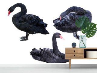set of black swans isolated on white