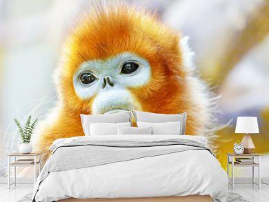 Cute golden Snub-Nosed Monkey in his  natural habitat of wildlif