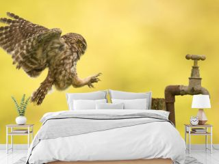 coming into land, a wild little owl landing on an old water tap