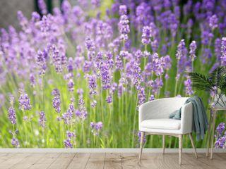 Lavender field background.