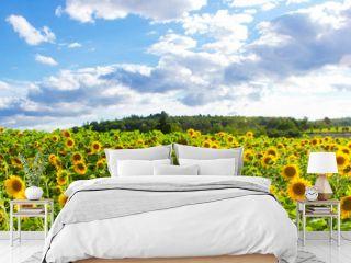 Sonnenblumenfeld - Panorama