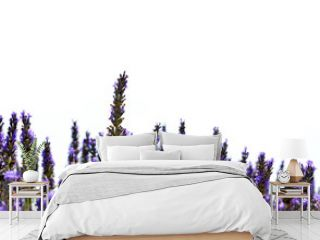 Lavender flower blooming scented fields on white background