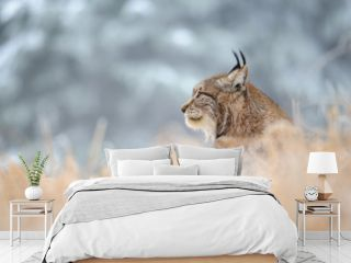 Eurasian lynx sitting on ground in winter time