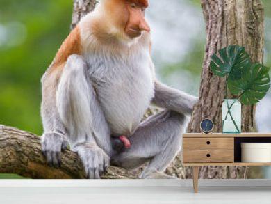 Proboscis monkey in a tree