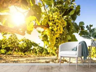 White wine grapes in vineyard on a sunny day
