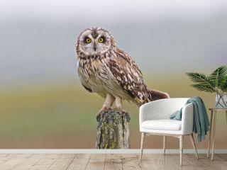 Perched Short-eared Owl, Asio flammeus