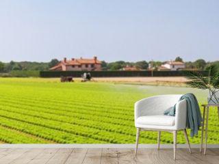 Panoramic salad field