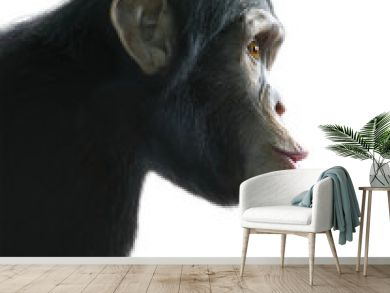 Surprised chimpanzee isolated on white