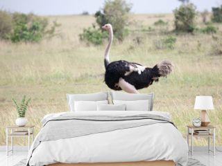 Male of African ostrich (Struthio camelus) running in Masai Mara Reserve, Kenya, Africa