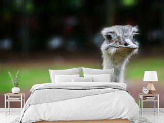 Ostrich bird head up close eye contact
