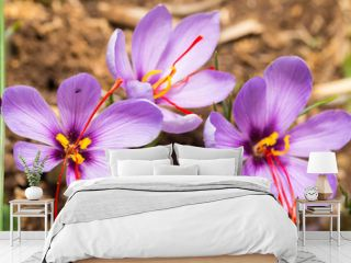 Close up of Crocus sativus flower on field