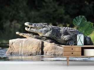 Nile crocodile. Two crocodiles , having opened from a heat to graze,