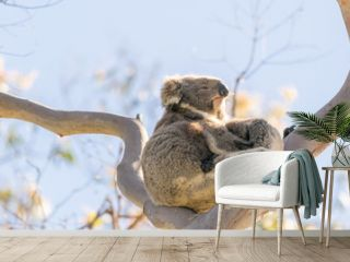 Koala family on a bare tree