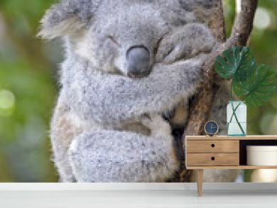 koala asleep  in a tree.