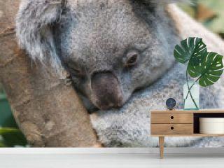 Close-up of a koala bear