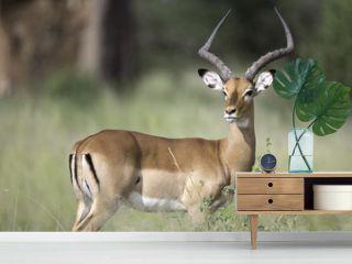 Portrait of male impala antelope