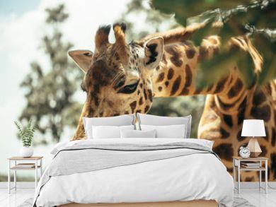 A young beautiful  giraffe in National park Nairobi, Kenya