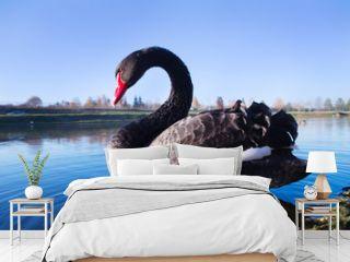 black swan swims in the lake