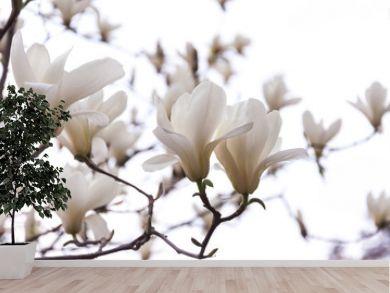 Beautiful magnolia flowers