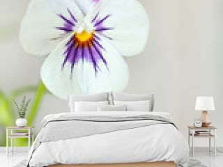 pansy viola tricolor white background