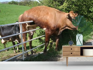 Cow stuck on Gate and just hanging there.