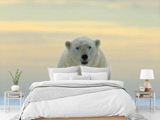 Dangerous looking polar bear on the ice in Svalbard