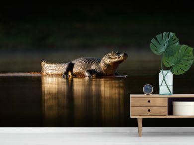 Yacare Caiman, gold crocodile in the dark water surface with evening sun, nature river habitat,  Pantanal, Brazil