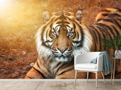 Tiger männchen bei Sonnenuntergang von nah im Portrait mit intensiven Augen