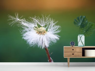 white fluffy dandelion scatters seeds parachutes