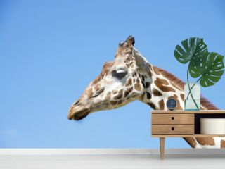 portrait of a giraffe with clear blue sky background
