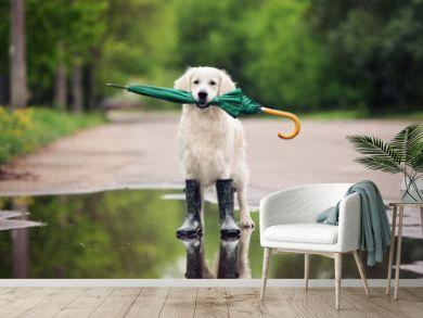 golden retriever dog in rain boots holding an umbrella