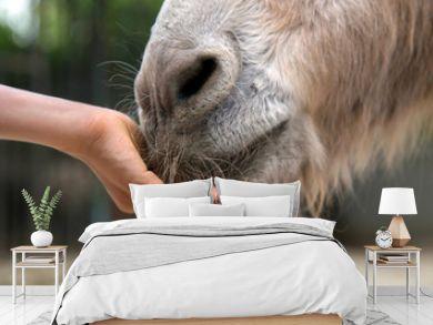 Child feeding donkey close up.