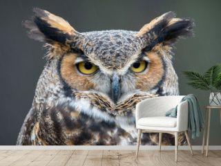 Great Horned Owl (Bubo virginianus) in the rain
